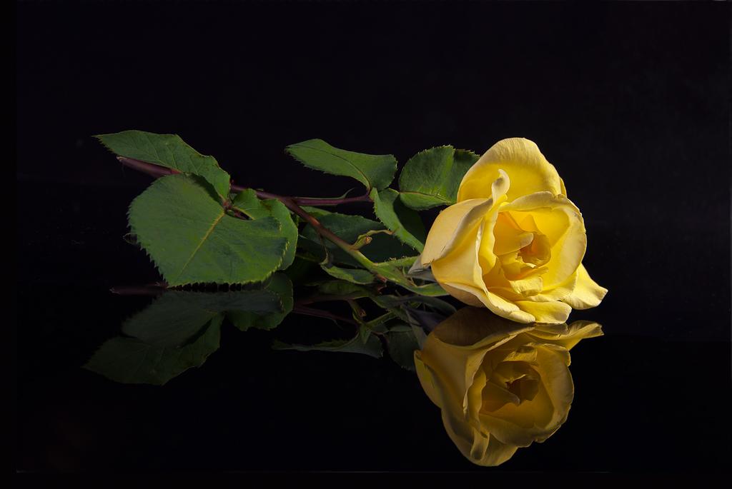 Bienvenidos al nuevo foro de apoyo a Noe #269 / 22.06.15 ~ 26.06.15 177746d1380564701-rosa-amarilla-rosa_amarilla_od-jpg