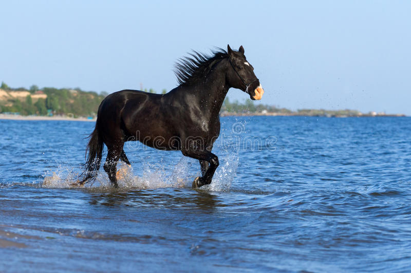 caballo-negro-funcionado-con-en-el-mar-50950051.jpg