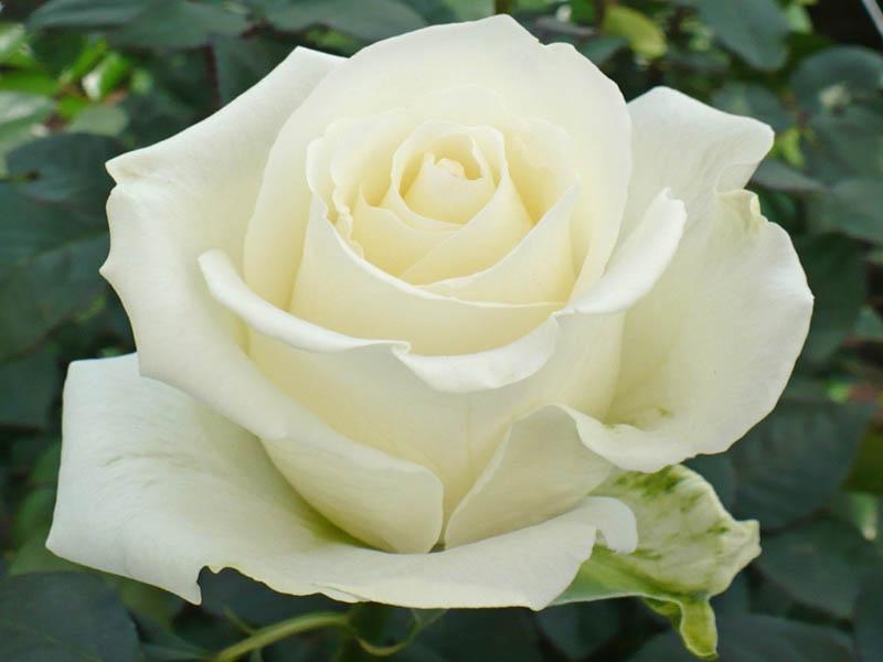 rosas-blancas-3.jpg