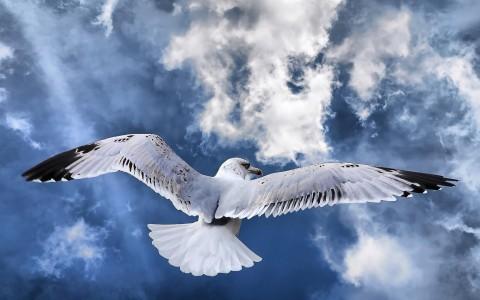 seagul_in_flight__wallpaper_480x300.jpg